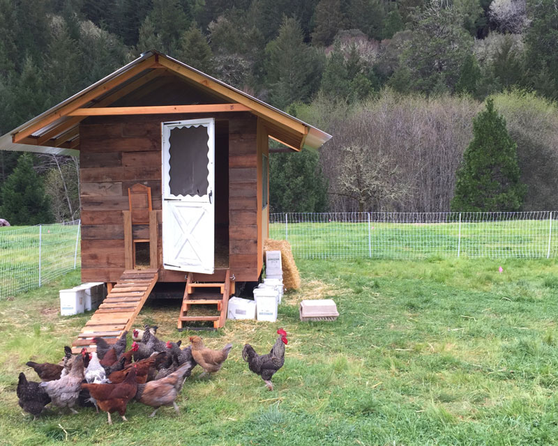 chickens-enjoying-their-new-home-at-groundswell-community